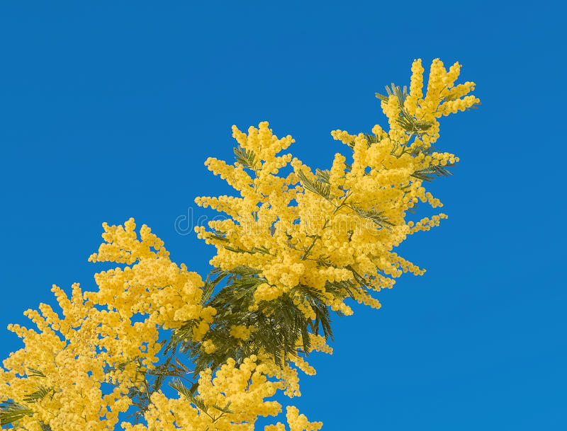 Yellow mimosa flower with leaf on tree on blue sky, symbol women day stock photography