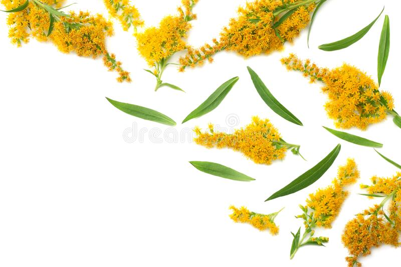 Yellow mimosa flowers branch isolated on white background. top view royalty free stock image