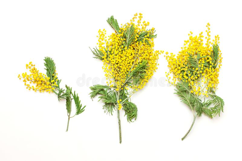 Yellow Mimosa flowers on white background top view flat lay copy space. Spring gentle composition, concept of spring season,. Symbol of 8 March, happy women`s stock photography