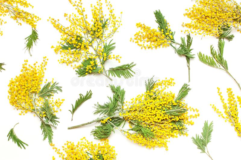Yellow Mimosa flowers on white background top view flat lay copy space. Spring gentle composition, concept of spring season,. Symbol of 8 March, happy women`s stock photo