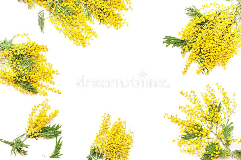 Yellow Mimosa flowers on white background top view flat lay copy space. Spring gentle composition, concept of spring season,. Symbol of 8 March, happy women`s royalty free stock image