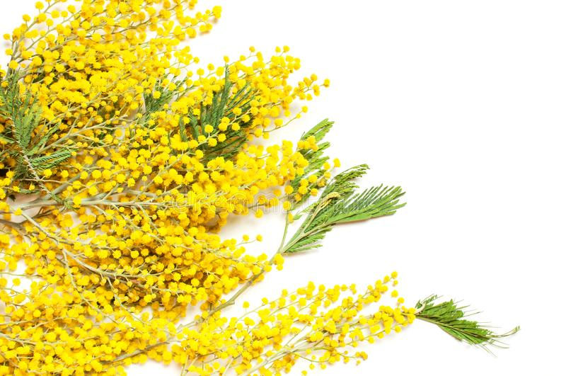 Yellow Mimosa flowers on white background top view flat lay copy space. Spring gentle composition, concept of spring season,. Symbol of 8 March, happy women`s stock images