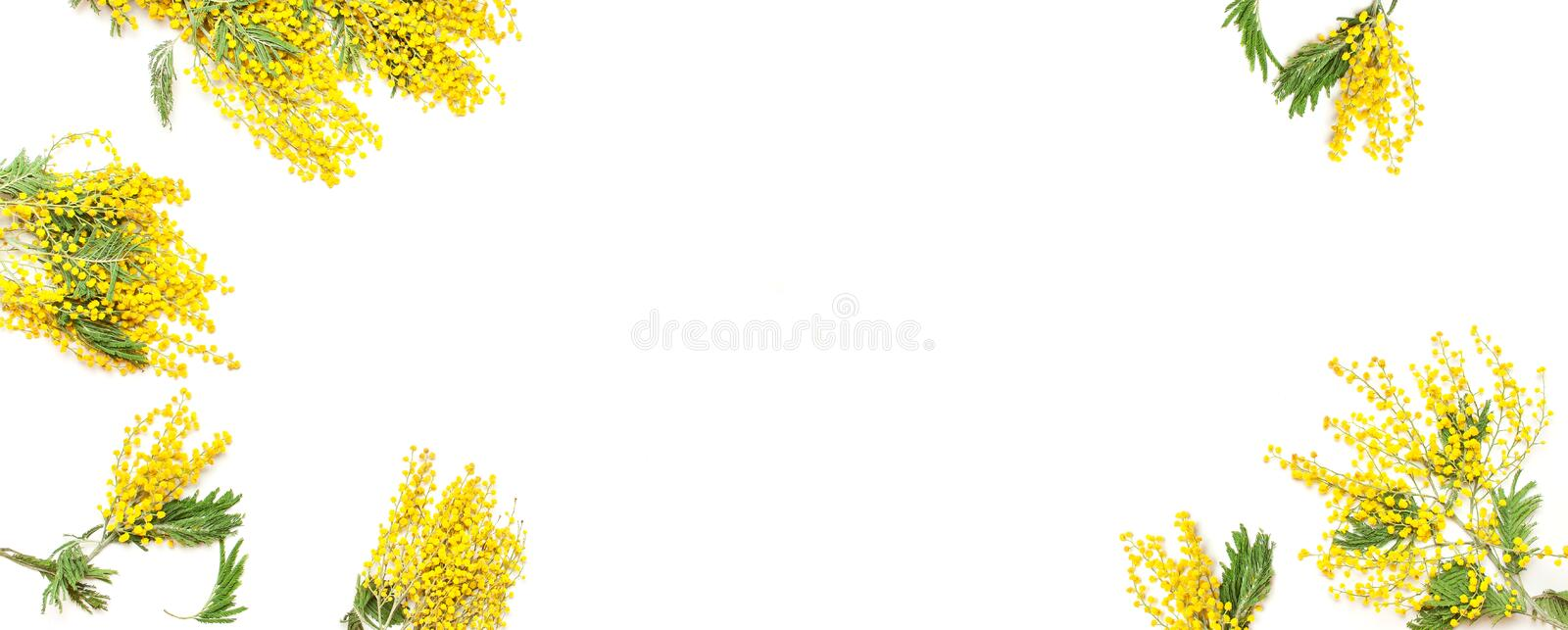 Yellow Mimosa flowers on white background top view flat lay copy space. Spring gentle composition, concept of spring season,. Symbol of 8 March, happy women`s royalty free stock photography