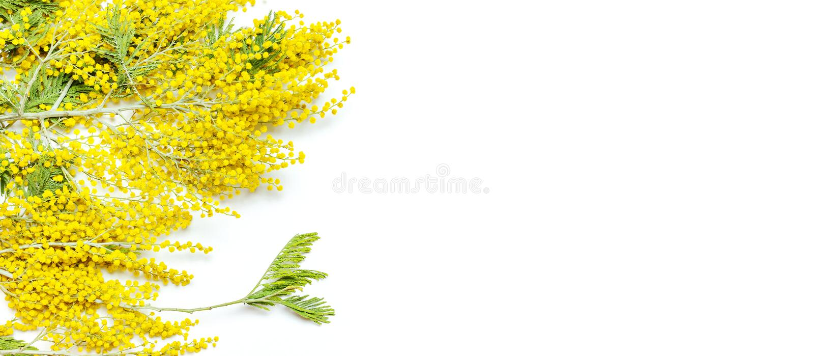 Yellow Mimosa flowers on white background top view flat lay copy space. Spring gentle composition, concept of spring season,. Symbol of 8 March, happy women`s stock photos