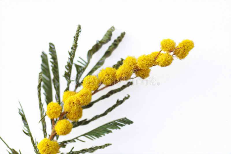 Yellow mimosa isolated. Yellow mimosa flowers on white royalty free stock photos