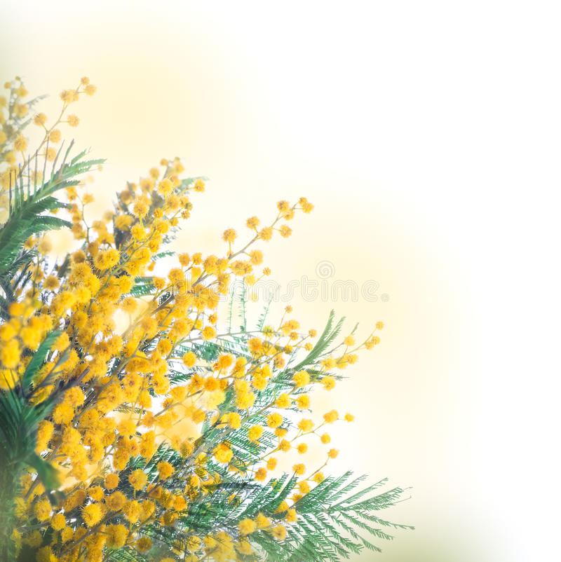 Yellow mimosa. Pattern of spring flowers royalty free stock image