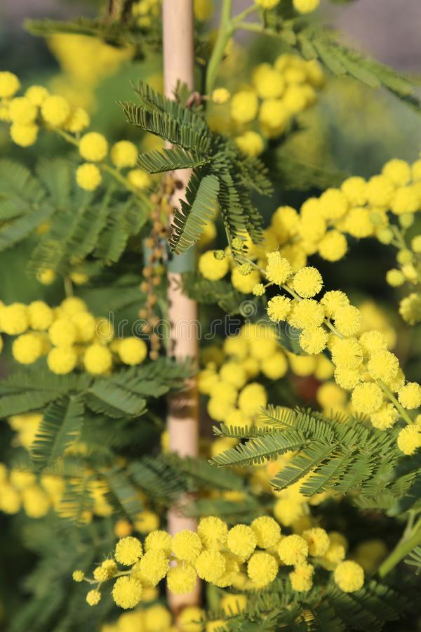 Yellow mimosa. In spring is the symbol of international day of women stock images