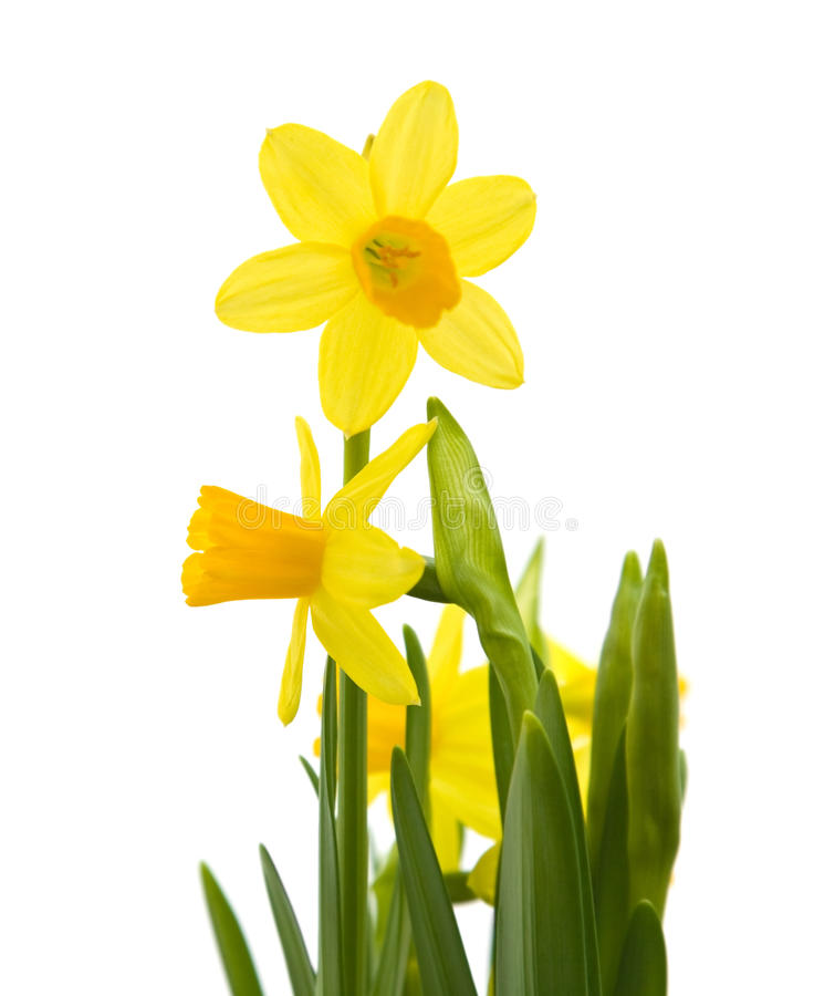 Free Yellow Mini-narcissi Royalty Free Stock Image - 13559466
