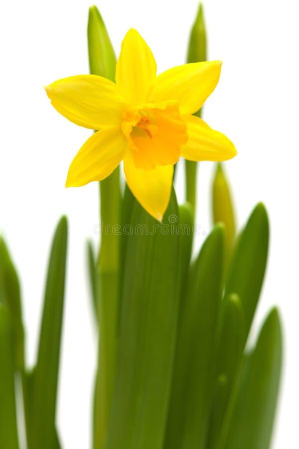 Free Yellow Mini-narcissi Royalty Free Stock Photo - 38290215