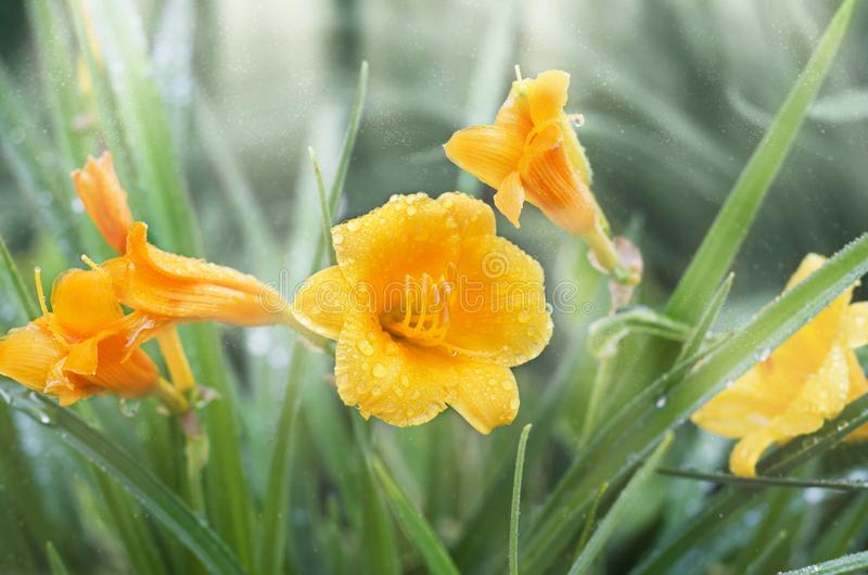 Yellow daylily in drops after rain, light effect. Yellow miniature daylilies in drops of rain, light effect stock photography