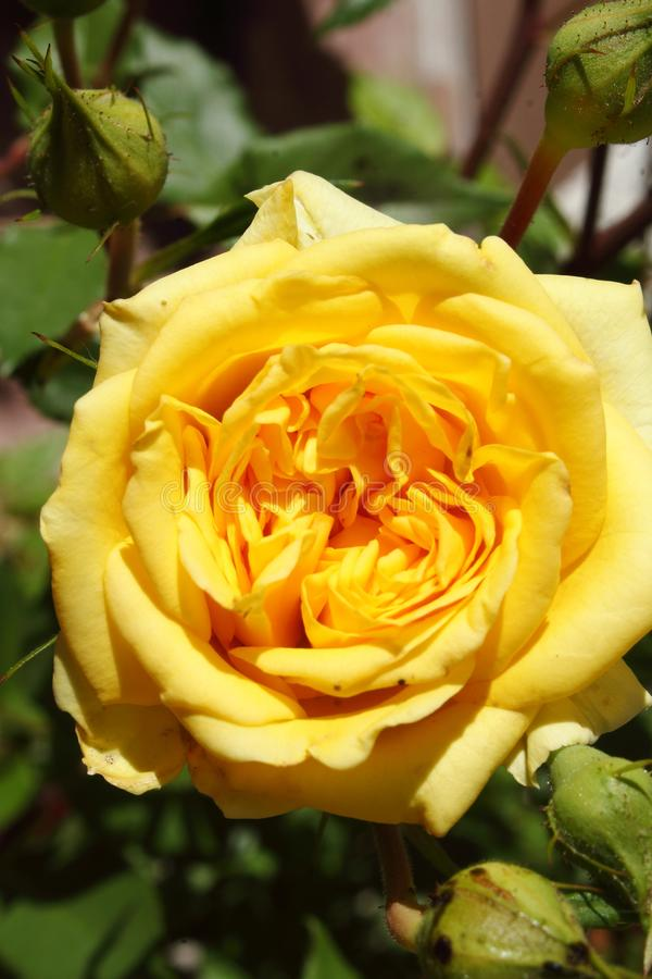 A yellow miniature rose centered surrounded by buds and foliage. royalty free stock images