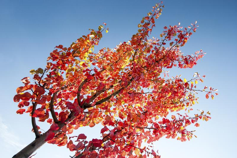Yellow mixed red leafs on branches royalty free stock photography