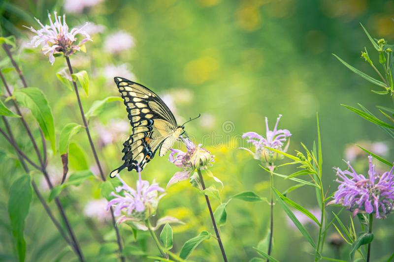 Yellow monarch butterfly on pink clover flower stock photo