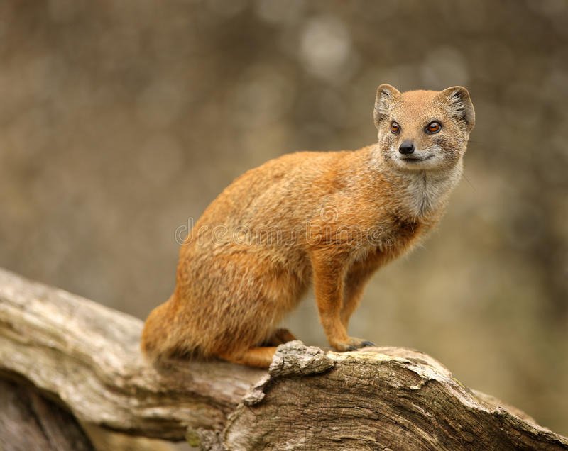 Yellow Mongoose royalty free stock image