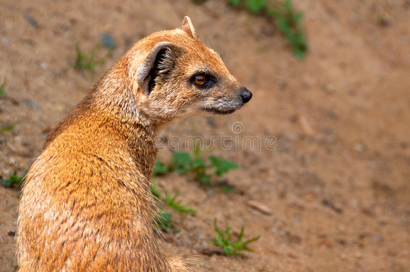Download Yellow mongoose stock photo. Image of animal, penicillata - 24822508