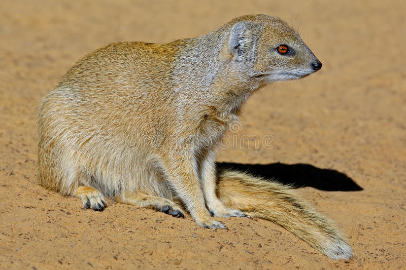 Download Yellow mongoose stock photo. Image of africa, small, african - 27859920