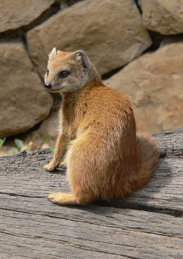 Yellow mongoose stock photos