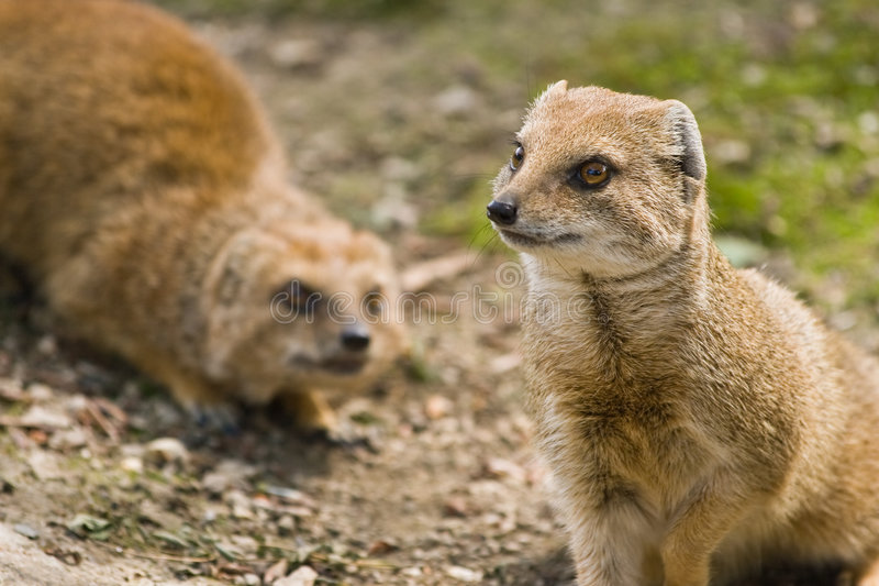 Download Yellow mongoose stock image. Image of africa, animals - 7163071