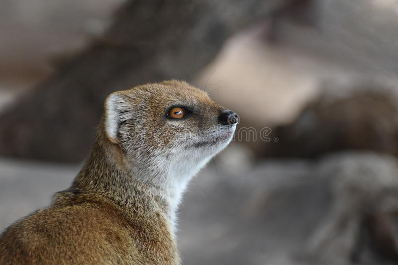 Yellow Mongoose. A beautiful and very cute yellow mongoose amongst rocky outcrops looking round stock photos