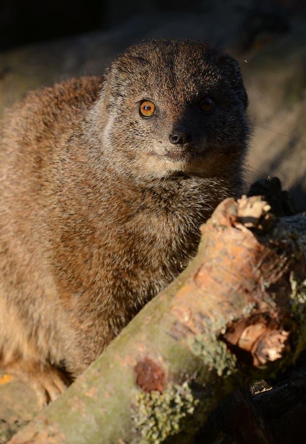 Yellow Mongoose Close-up