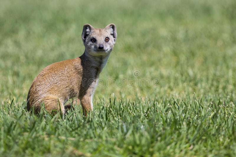 Yellow Mongoose hunting for prey on short green grass royalty free stock image