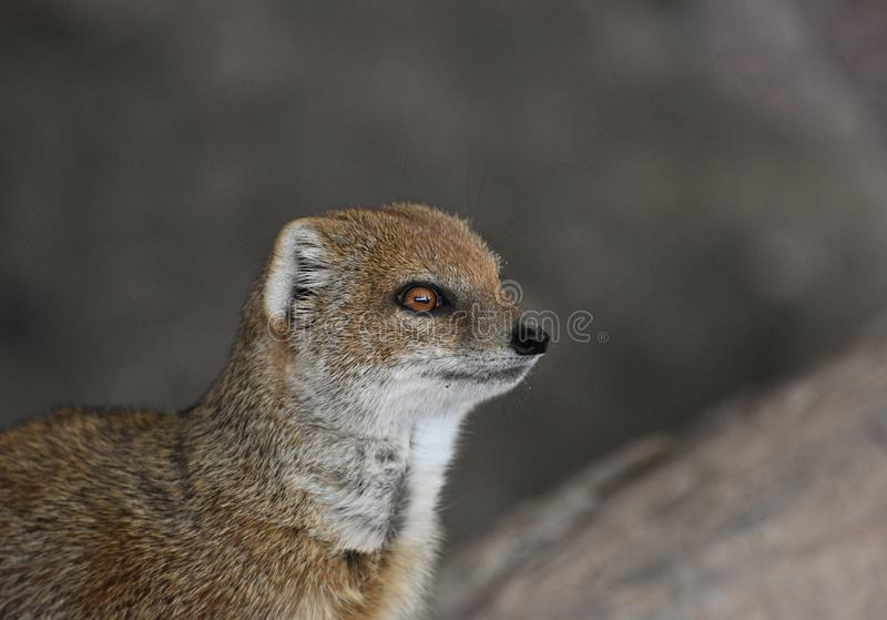 Yellow Mongoose portrait. A beautiful and very cute yellow mongoose amongst rocky outcrops looking to its left royalty free stock photography