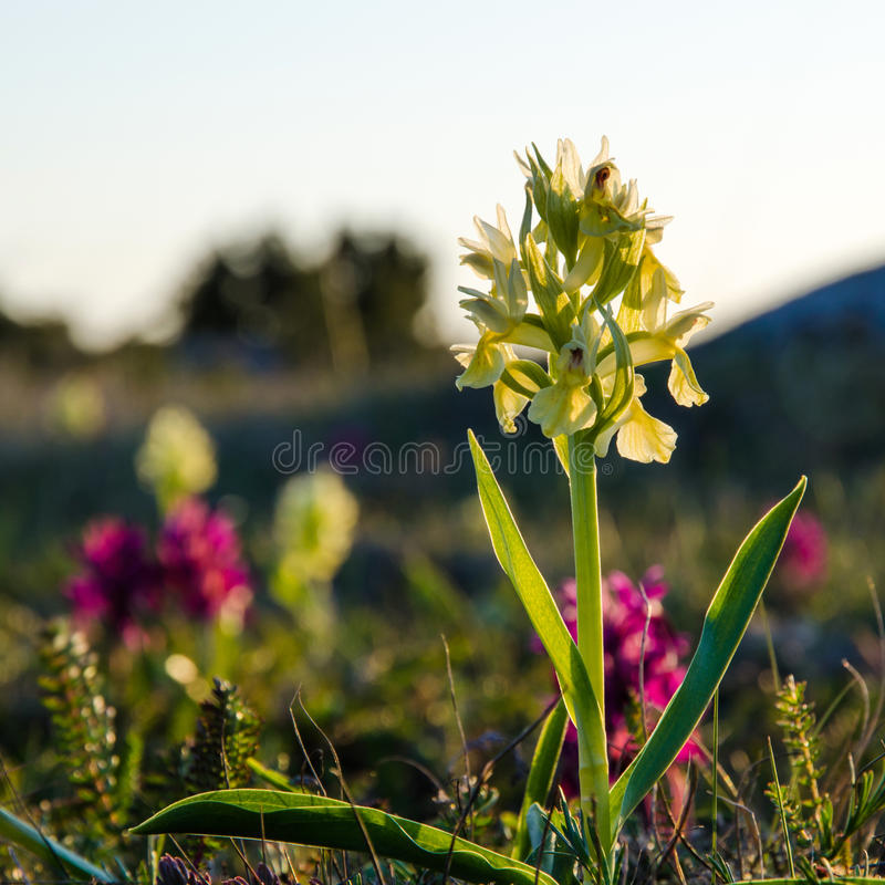 Download Yellow morning beauty stock image. Image of meadow, elder - 33579225