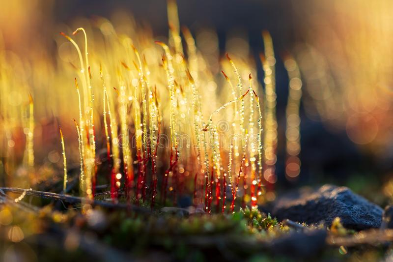 Yellow moss in dew drops at sunset royalty free stock photos