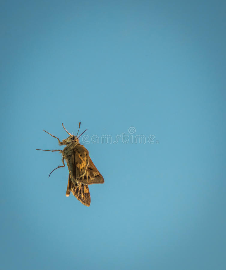 Yellow moth on a window. A yellow moth clinging to a clear window, with a blue sky in the background stock images