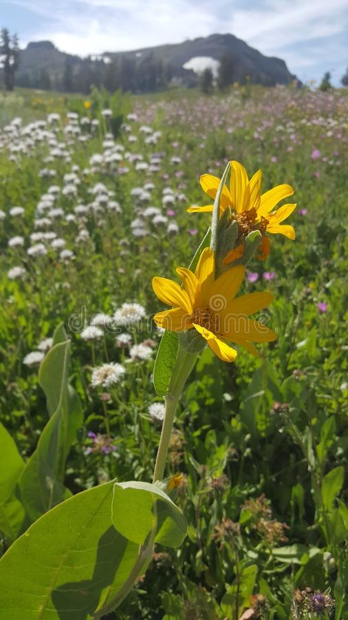 Yellow mountain flowers in a field on a summer day stock photos