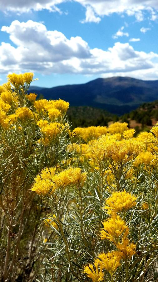 Yellow mountain flowers in full bloom stock photos