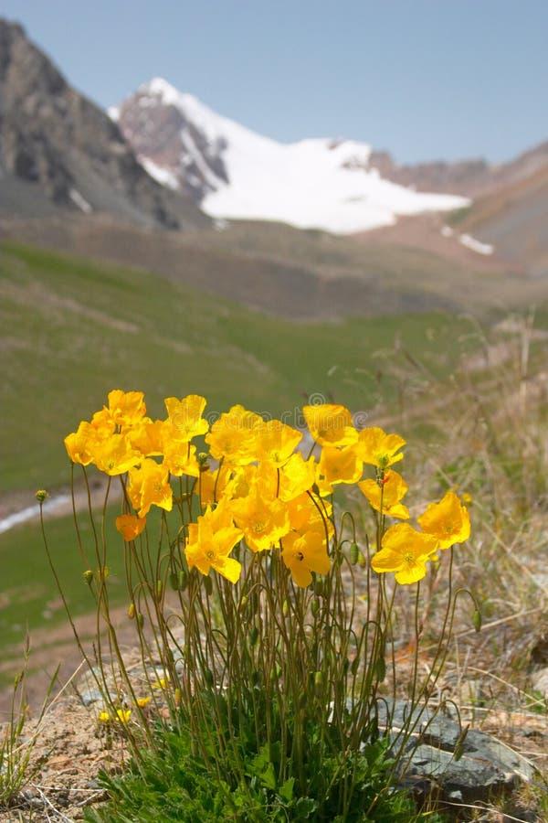 Download Yellow Mountain poppy stock photo. Image of ashuu, outdoor - 500132