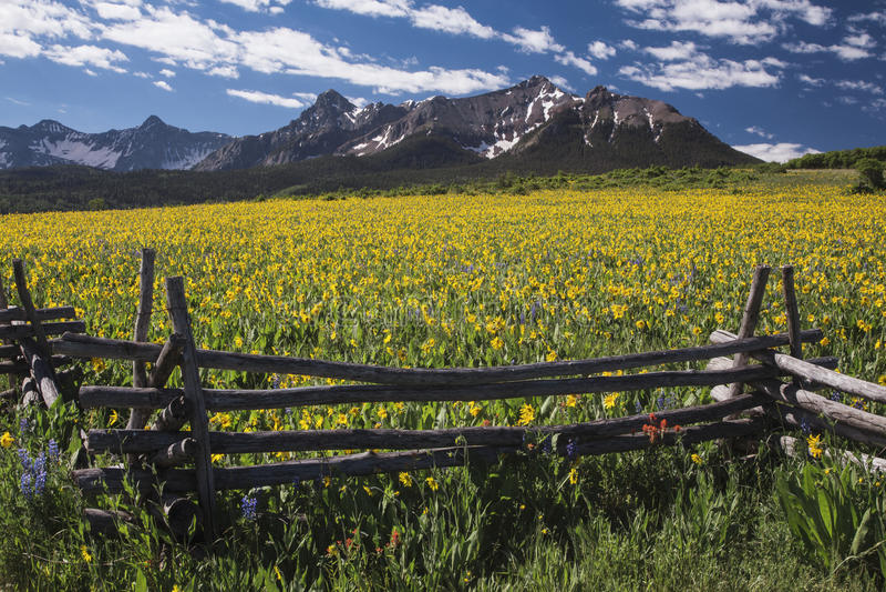 Yellow Mules near field, western fence and San Juan Mountains, Hastings Mesa, near Last Dollar Ranch, Ridgway, Colorado, USA royalty free stock photo