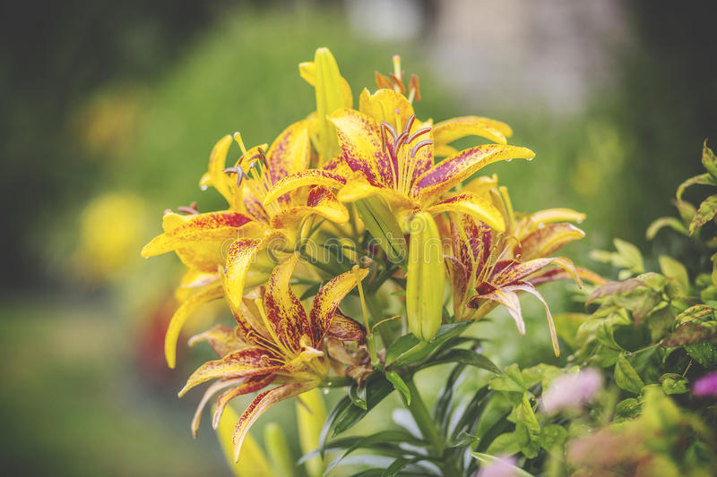 Download Yellow Multi Petaled Flower Stock Image - Image of plant, flowers: 82962283