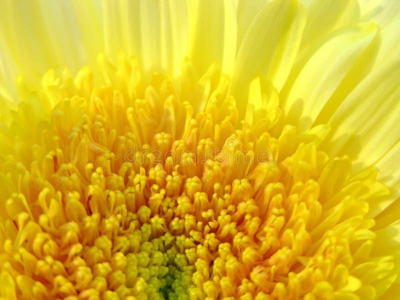 Yellow Mum royalty free stock image