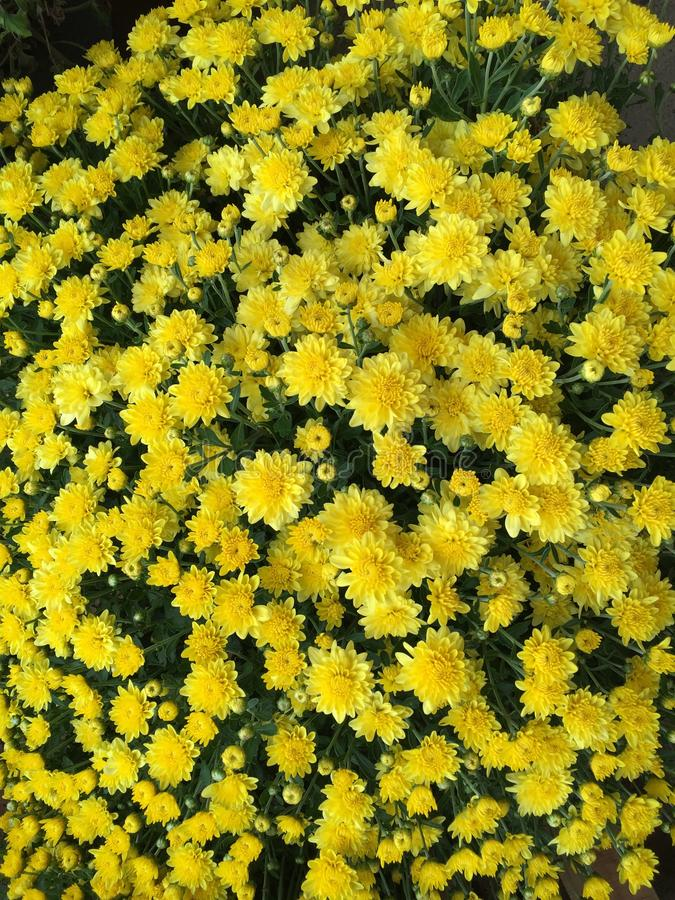 Yellow mums for background royalty free stock photography