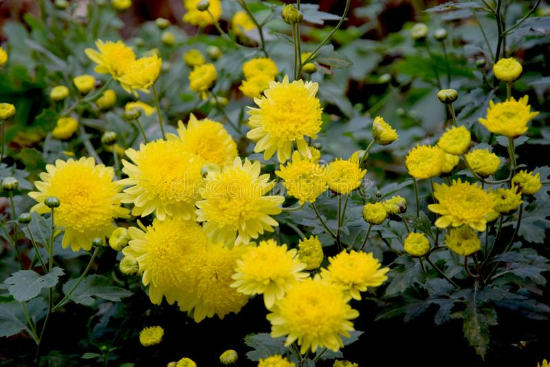 Yellow Mums in Full Bloom with Lush Foliage royalty free stock photography