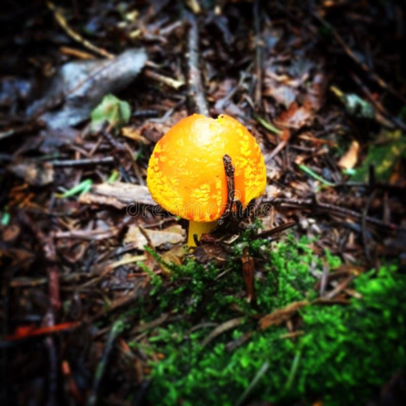 Yellow Mushroom stock image