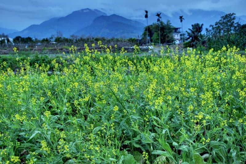 Yellow mustard flowers stock photography