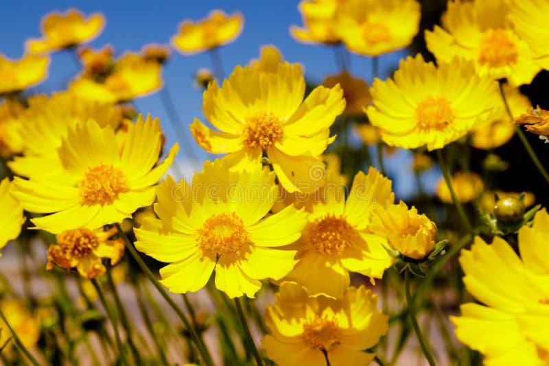 Yellow daisy meadow against a blue sky stock photo