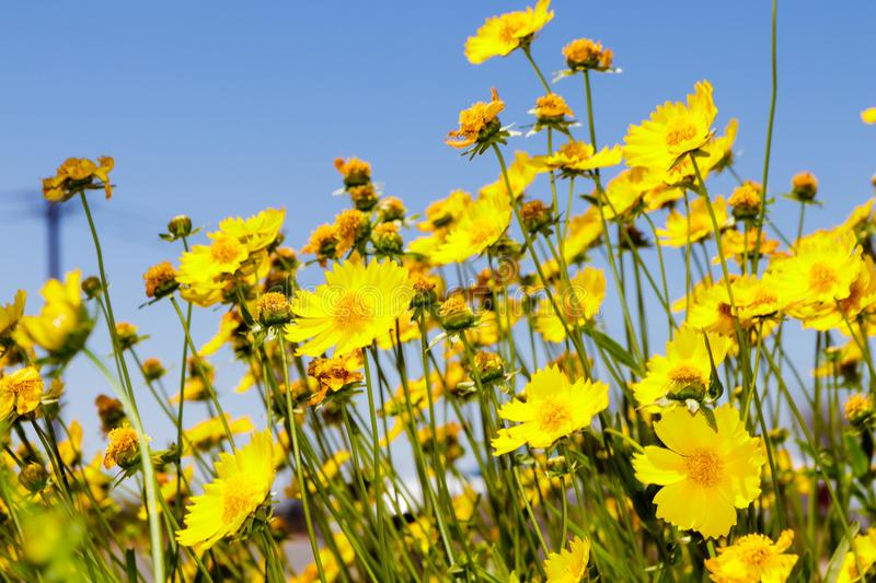 Yellow daisy meadow against a blue sky royalty free stock photography
