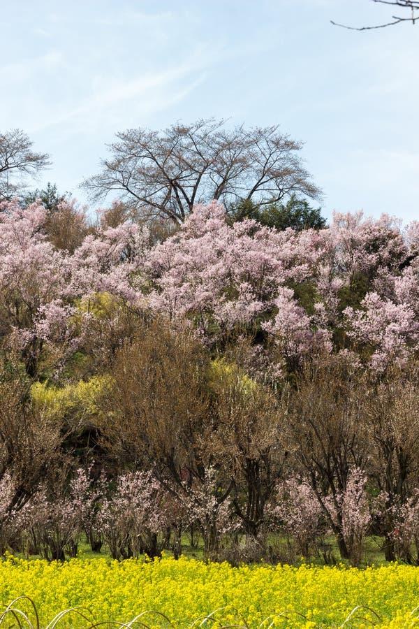 Yellow nanohana fields and flowering trees covering the hillside,Hanamiyama Park,Fukushima,Tohoku,Japan. royalty free stock photography