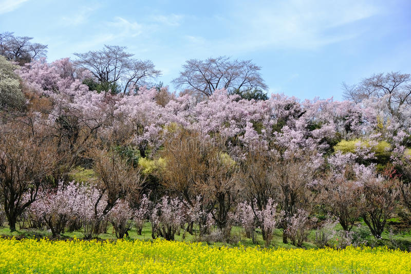 Yellow nanohana fields and flowering trees covering the hillside,Hanamiyama Park,Fukushima,Tohoku,Japan. stock photo