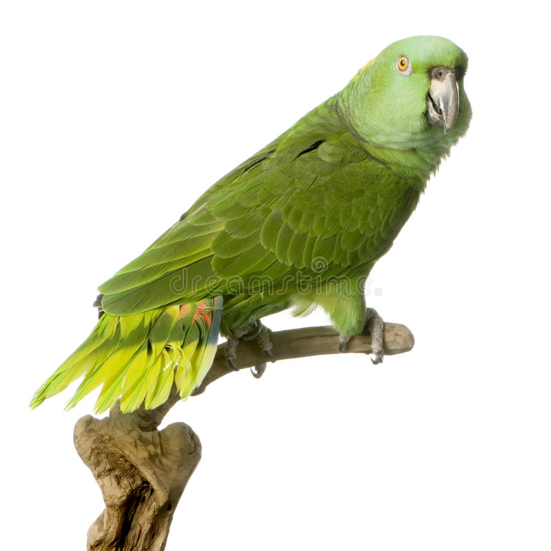 Download Yellow-naped amazon stock image. Image of playful, studio - 2314425