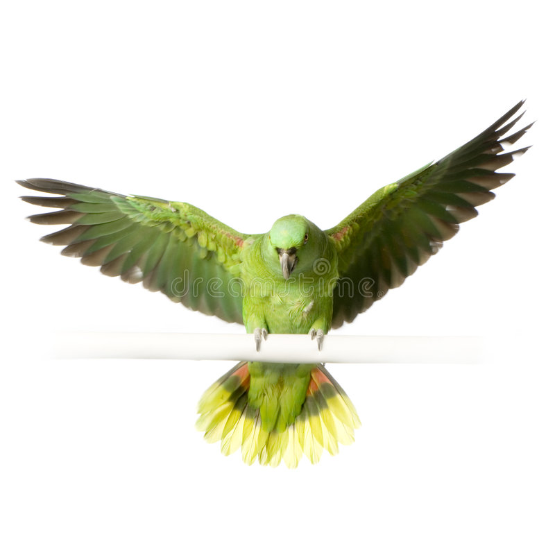 Download Yellow-naped Amazon Stock Images - Image: 2314434