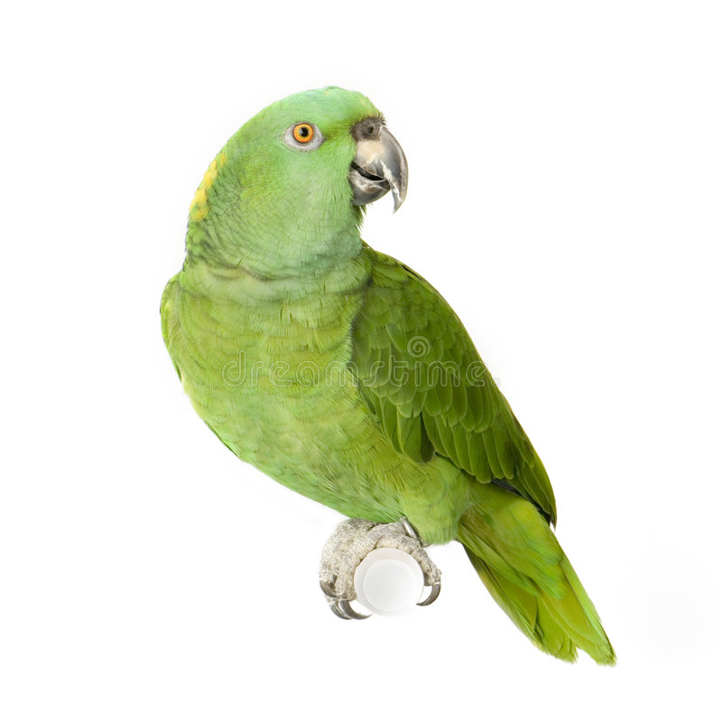 Download Yellow-naped Amazon stock photo. Image of parrot, noisy - 2314488