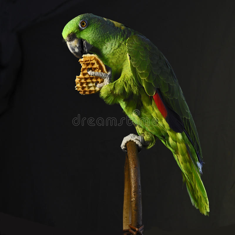 Yellow-naped amazon parrot eat waffle. Yellow-naped amazon, Amazona auropalliata sitting on a stick and eat a waffle to a heart on Valentine's Day in a studio