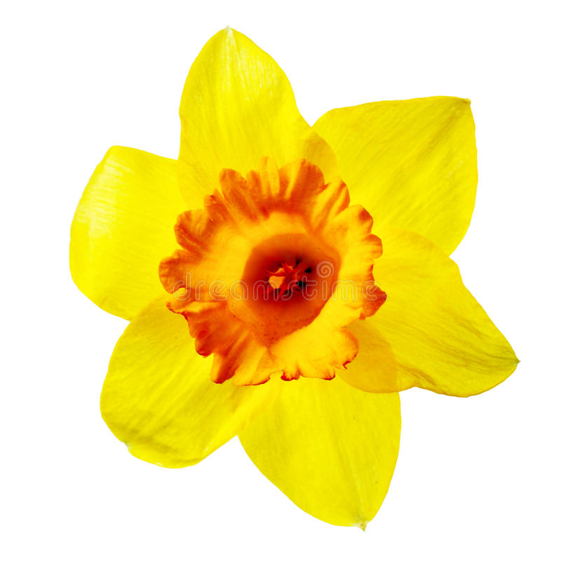 Yellow narcissus. Isolated over the white background stock images
