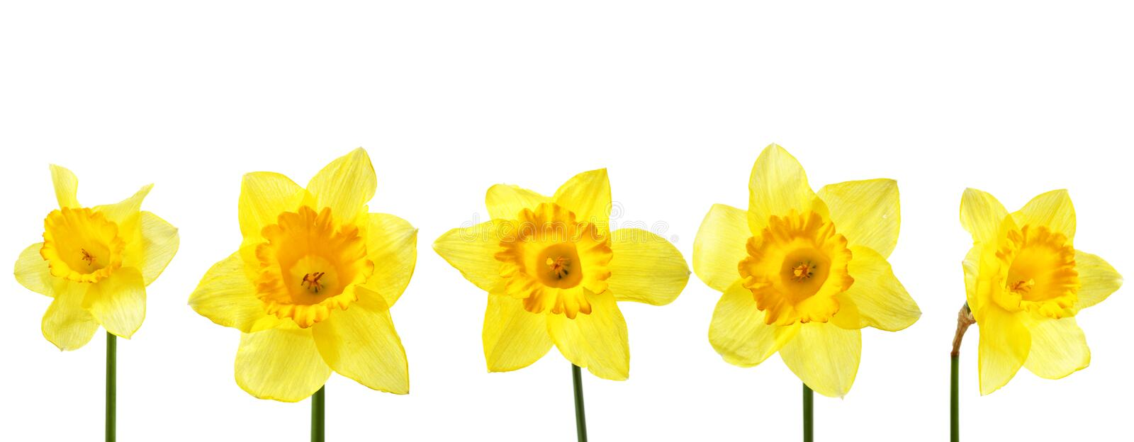 Yellow narcissus. Isolated over the white background stock image