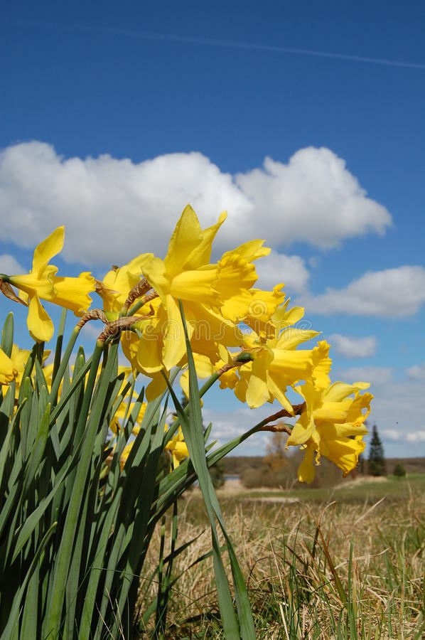 Download Yellow Narcissus In The Country Stock Image - Image: 12660851